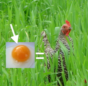 egg yolk and chicken